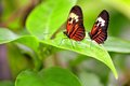 Two Piano Key Butterflies On Green Leaf Stock Photos - 41658753