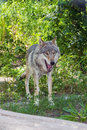 European Gray Wolf (Canis Lupus Lupus) Stock Photography - 41660992