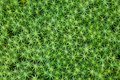 Close-up Of Common Haircap Moss Stock Images - 41680124