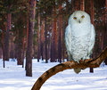 Snowy Owl At Pine Forest Stock Photography - 41685192