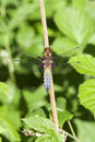 Broad-bodied Chaser Stock Photos - 41687623