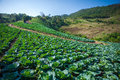 Cabbage Fields Stock Image - 41703451