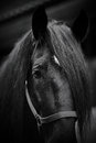 Muzzle Of A Black Horse. Royalty Free Stock Photo - 41728355
