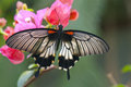 Great Mormon (Papilio Memnon Agenor) Butterfly Royalty Free Stock Images - 41734489