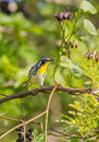 Yellow-throated Warbler On A Branch With Fruits Stock Images - 41734644