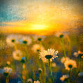 Field Of Daisies Royalty Free Stock Photo - 41743425