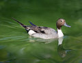 Pintail Duck Stock Images - 41745054