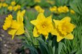 Blossomed Yellow Narcissus Royalty Free Stock Images - 41748389