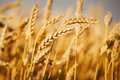 Wheat Fields Royalty Free Stock Photography - 41755727