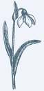 Vector Drawing. First Spring Flower - Snowdrop Stock Image - 41757421