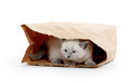 Kitten In A Bag Royalty Free Stock Photo - 41766615