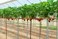 Strawberry Garden Stock Image - 41788191