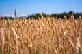 Golden Wheat Royalty Free Stock Photography - 41795157