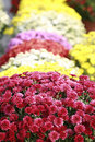 Fall Mums Royalty Free Stock Images - 4180269