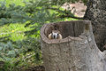 Marmot In Tree Stump Royalty Free Stock Images - 4180369