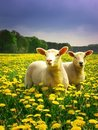Easter Lambs Royalty Free Stock Photography - 4183677