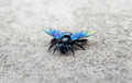GIANT CARPENTER BEE: Unique Unknown Breed Royalty Free Stock Images - 41809939