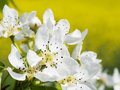 Blossoming Pear Tree, Detail Stock Image - 41810611