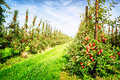 Apple Orchard Royalty Free Stock Photography - 41828487