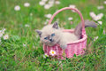 Kitten In A Basket Royalty Free Stock Photography - 41829377