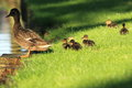 Wild Duck Family Royalty Free Stock Images - 41837829