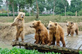 Brown Bears Stock Images - 41838414