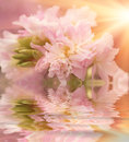 Beautiful Flower Is In The Rays Of Light, Blured And Colored Reflection In Water Royalty Free Stock Images - 41843379