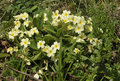 Primrose With Hoverfly Stock Image - 41858621