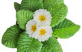 White Primula Flowers Royalty Free Stock Photography - 41884887