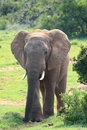 African Elephant Bull Royalty Free Stock Photography - 4193267