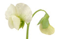 Pea Flower Close-Up On White Background Royalty Free Stock Photo - 41906315
