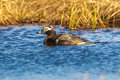 Long-Tailed Duck Royalty Free Stock Images - 41912269