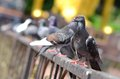 Pigeon Stock Images - 41912744