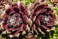 Mirror Image Succulent Flowers-close-up Hens And C Royalty Free Stock Images - 41916129