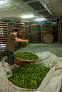 Taiwan S Chiayi City, Long Misato Territory Of A Tea Factory Workers Are Hanging Oolong Tea (tea First Process: Dry Tea) Stock Images - 41923214