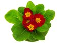 Bright Primula Close Up Royalty Free Stock Photography - 41923627