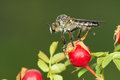 Robber Fly Royalty Free Stock Photos - 41926248