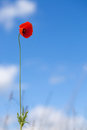 One Flower Of Wild Red Poppy On Blue Sky Background - Focus On Flower Royalty Free Stock Photo - 41928405