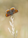 Aricia Agestis - Brown Argus Butterfly, Macro, On Grass Stem Stock Image - 41933941