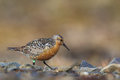 Red Knot Royalty Free Stock Photos - 41970928