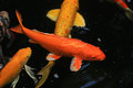 Koi Fish Swimming In The Pond Royalty Free Stock Images - 41984579
