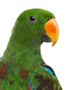 Close-up Of A Male Hybrid Eclectus Parrot (7 Months Old) Isolate Royalty Free Stock Photos - 41994798