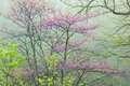 Spring Forest With Redbud Stock Photography - 41995352