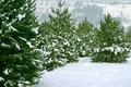 Christmas Trees 1 Royalty Free Stock Images - 420409