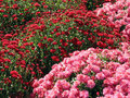 Red And Pink Fall Mums Royalty Free Stock Photos - 428498