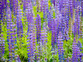 Lupines Royalty Free Stock Photography - 42014947