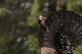 Western Capercaillie (Tetrao Urogallus) In Mating  Stock Photos - 42016563