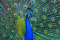 Peacock Royalty Free Stock Image - 42018766