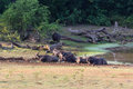 Water Buffalos Stock Photography - 42023632
