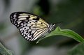 Close Up Of Beautiful Malabar Tree Nymph Butterfly Resting On Leaf Stock Photography - 42024632